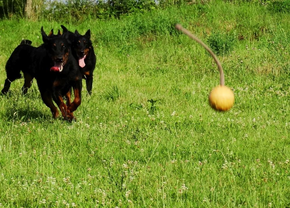 beauceron-berger-de-beauce-gardiens-du-chaos-kennel-working-dog-sport-herding.jpg