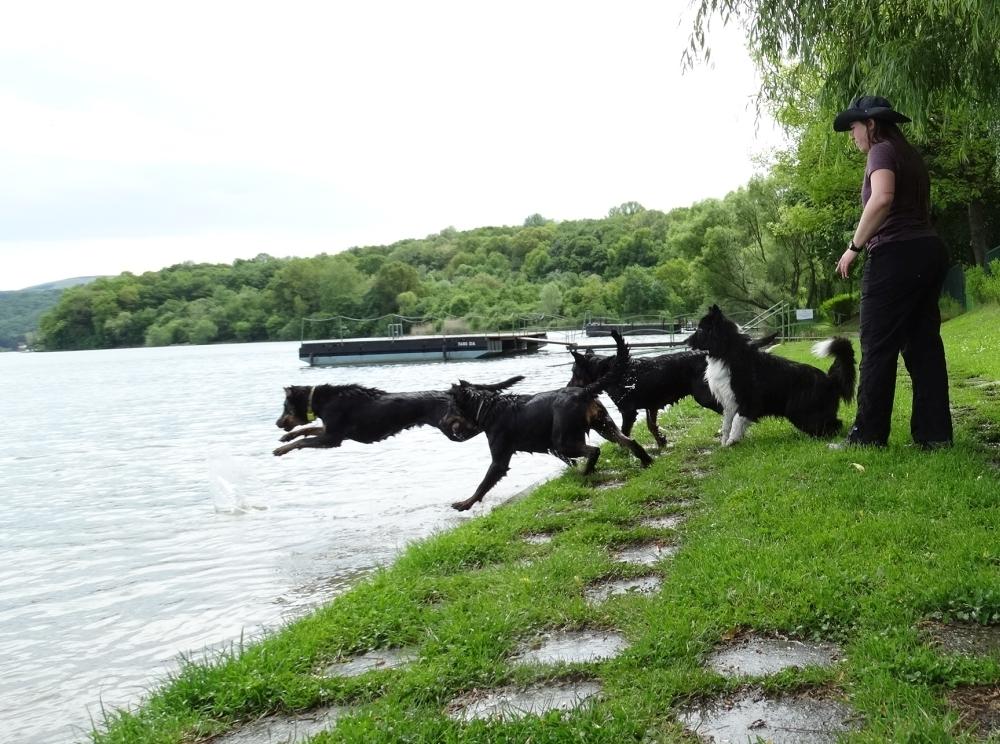 beauceron-berger-de-beauce-gardiens-du-chaos-kennel-working-dog-sport-swimming-dockdog-summer-orfu-border-collie.jpg