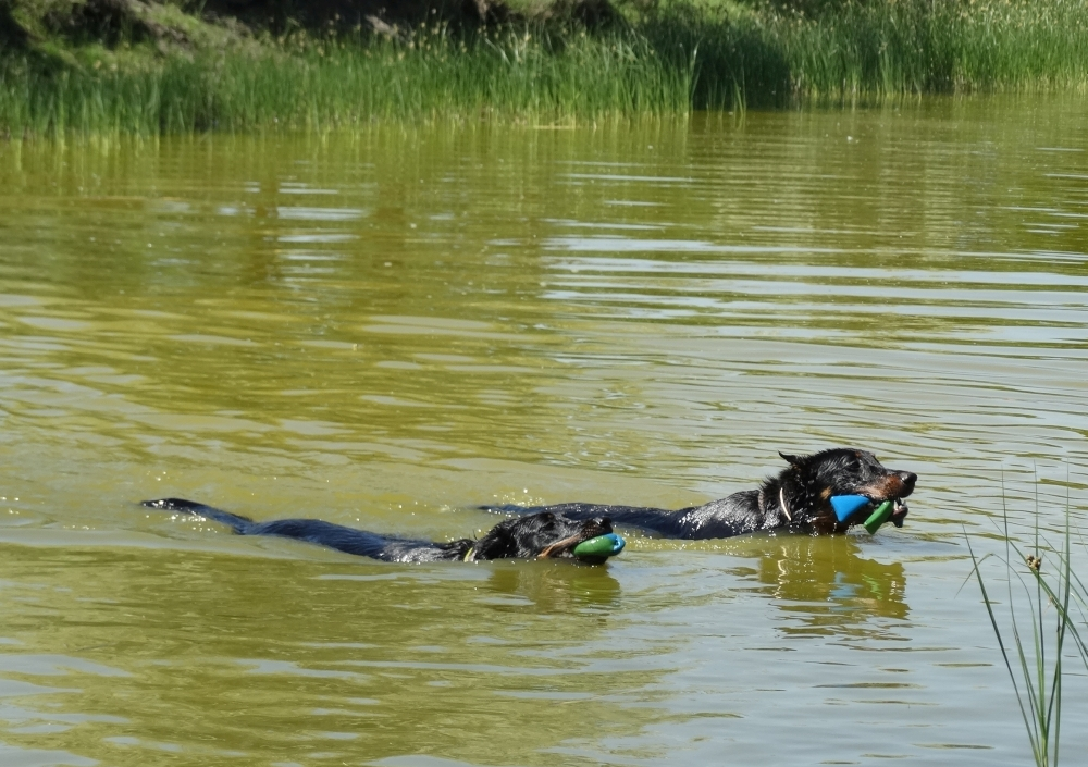 beauceron-berger-de-beauce-gardiens-du-chaos-kennel-working-dogs-sport-dog-swimming.jpg