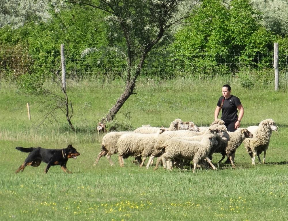 beauceron-berger-de-beauce-sport-dog-herding-sheepdog-working-troupeaux-travail-gardiens-du-chaos-kennel.jpg
