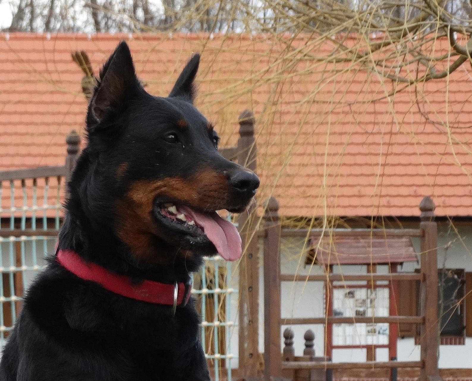 beauceron-herding-dog-pogo.jpg