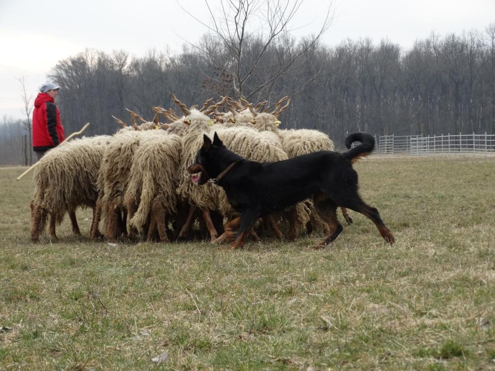 beauceron-herding-gardiens-du-chaos-troupeaux.jpg