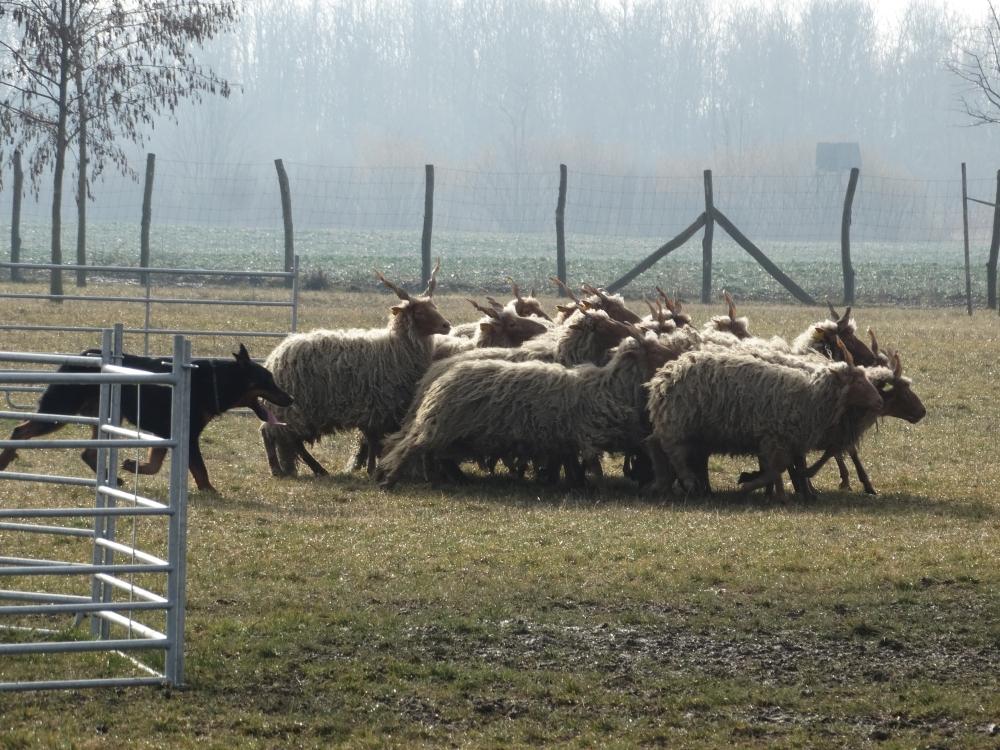beauceron-herding-gardiens-du-chaos.jpg