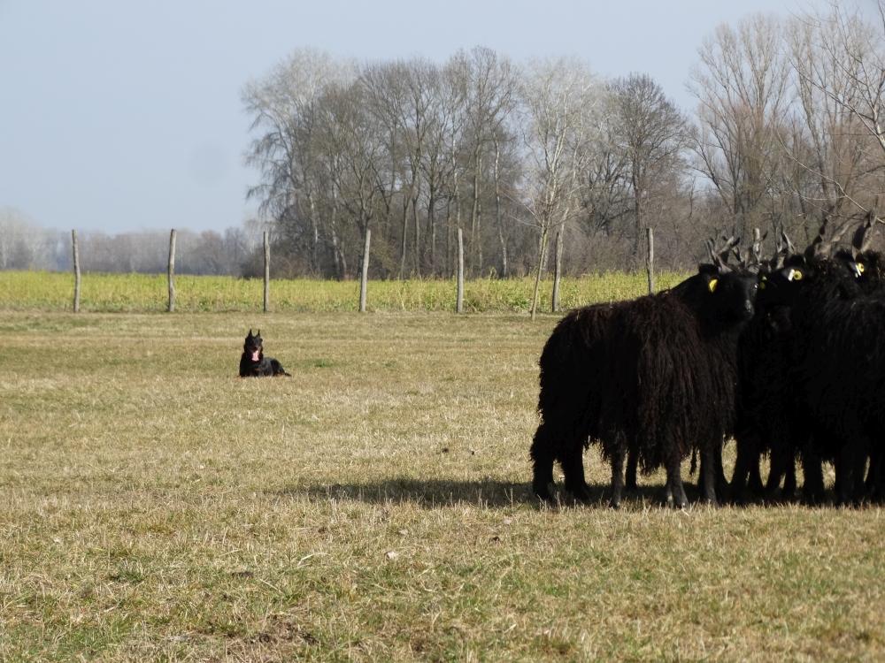 beauceron-herding-pogo.jpg