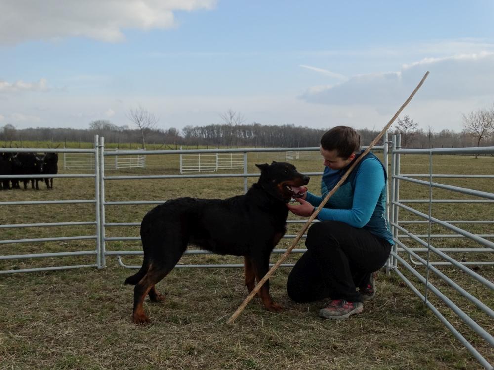 beauceron-herding-rebelle.jpg