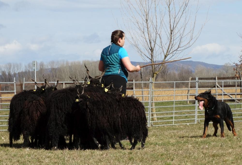 beauceron-herding-training-gardiens-du-chaos-rebelle-troupeau.jpg