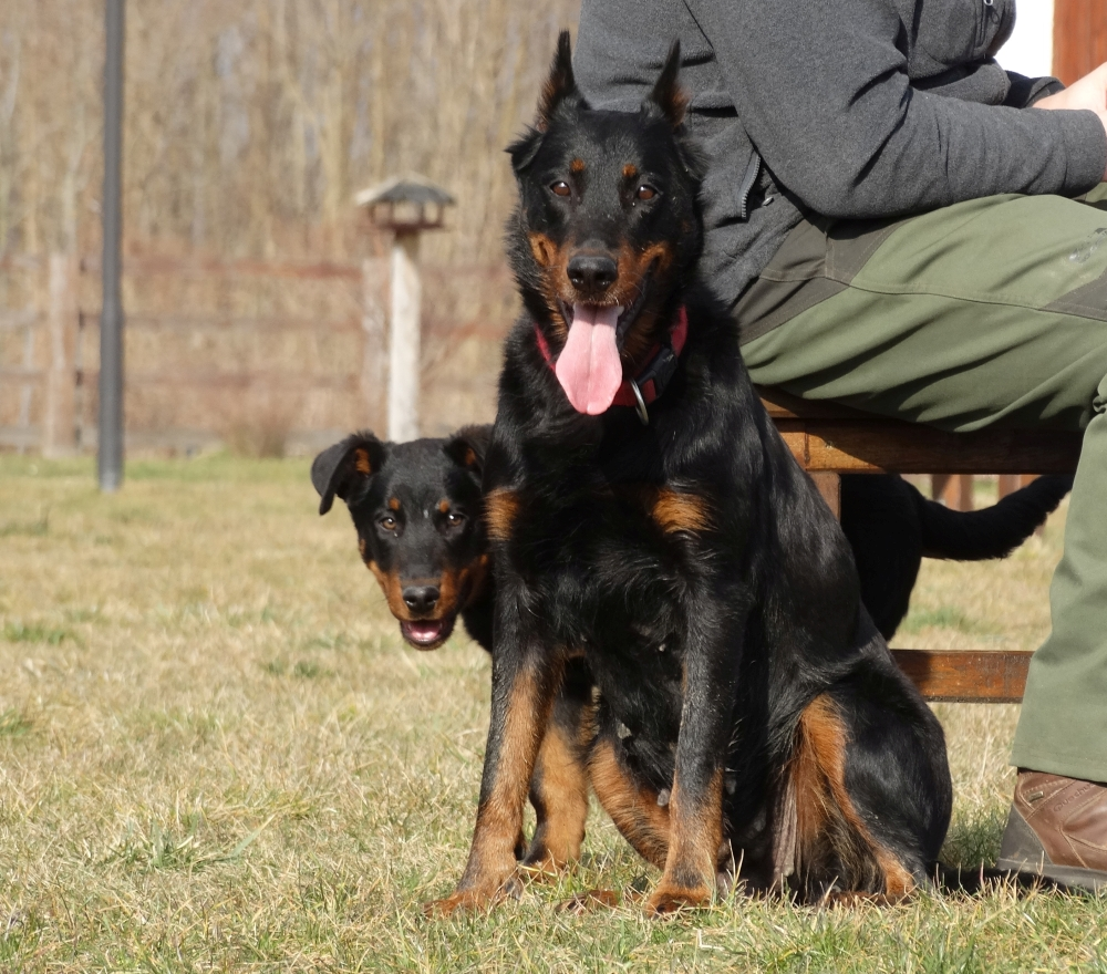 beauceron-puppy-herding.jpg