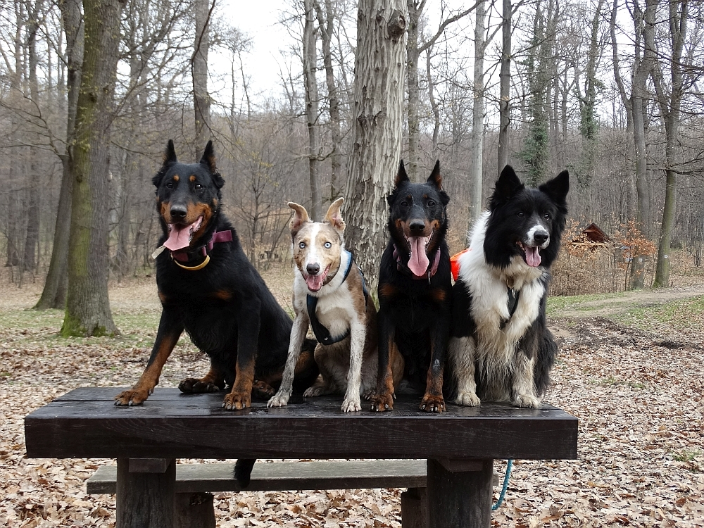 border-collie-beauceron-berger-de-beauce-gardiens-du-chaos-kennel-working-dog-sport-herding.jpg