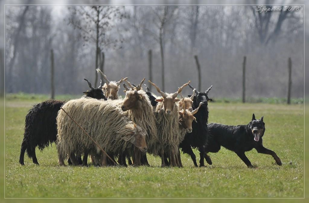 herding-trial-beauceron-pogo.jpg