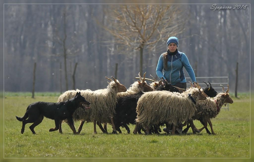 pogo-herding-trial-beauceron.jpg