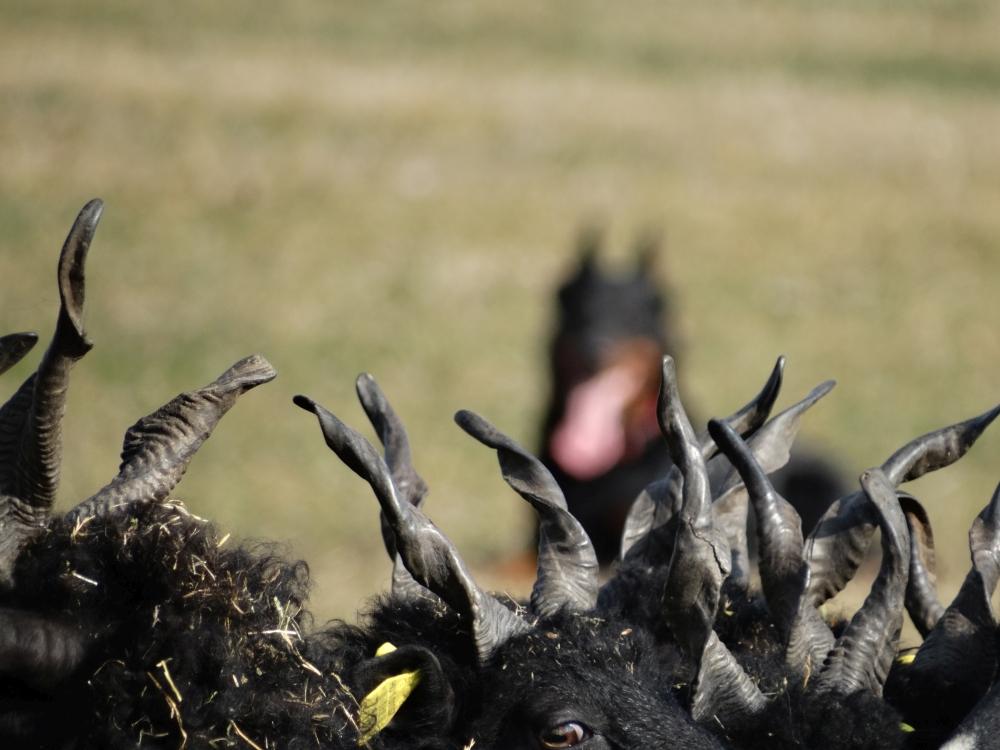 racka-sheep-herding-beauceron.jpg