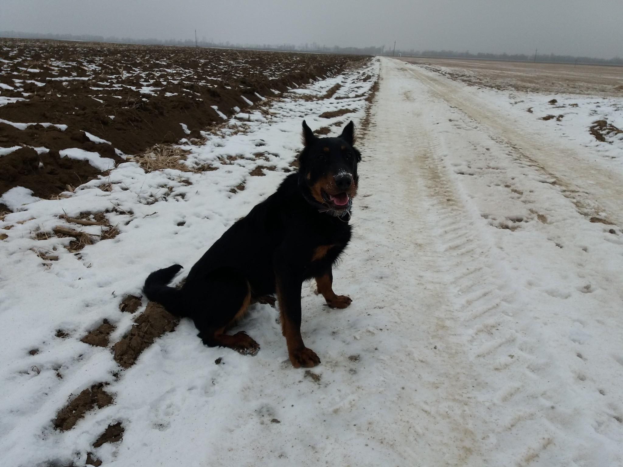 rebelle-beauceron-berger-de-beauce-working-dog-herding-troupeux-chien-gardiens-du-chaos.jpg