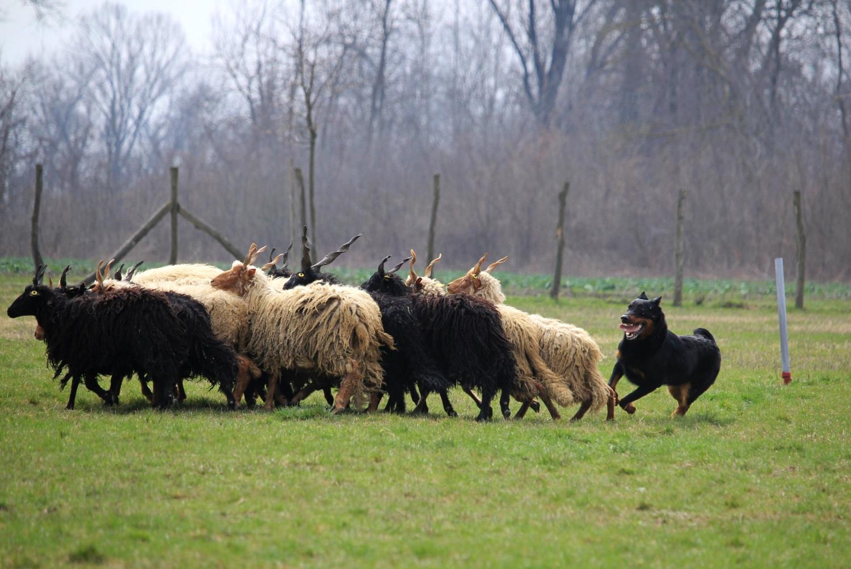 rebelle-herding-trial-beauceron.jpg