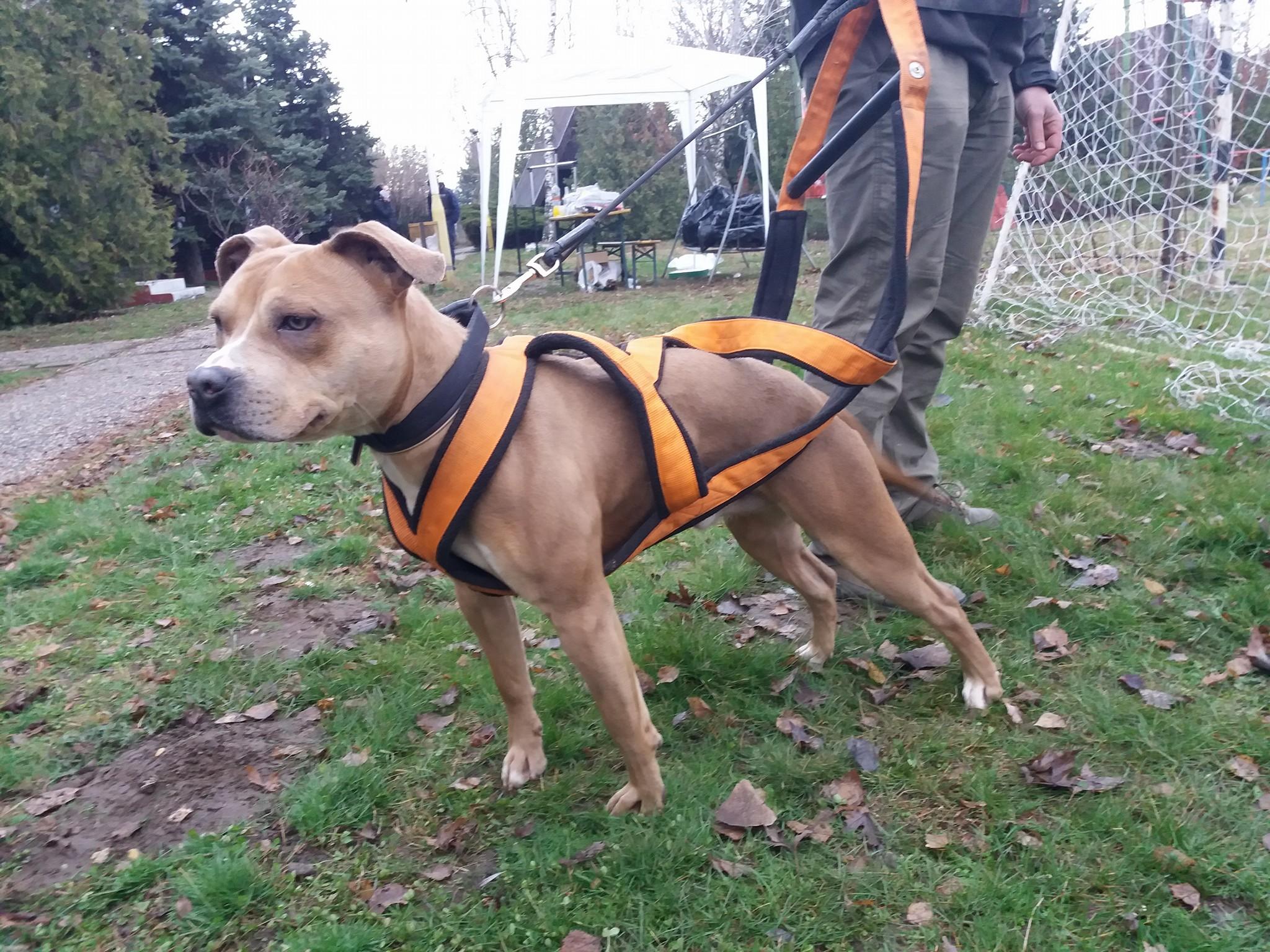 staffordshire-terrier-amstaff-staffie-staff-weight-pull-canine-dog-maddox-sportstaff-sport-working-training.jpg
