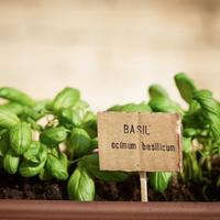 Tuti tippek az otthoni bazsalikom termesztéshez