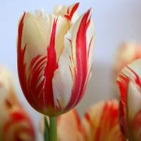 A tulipánhagyma mánia