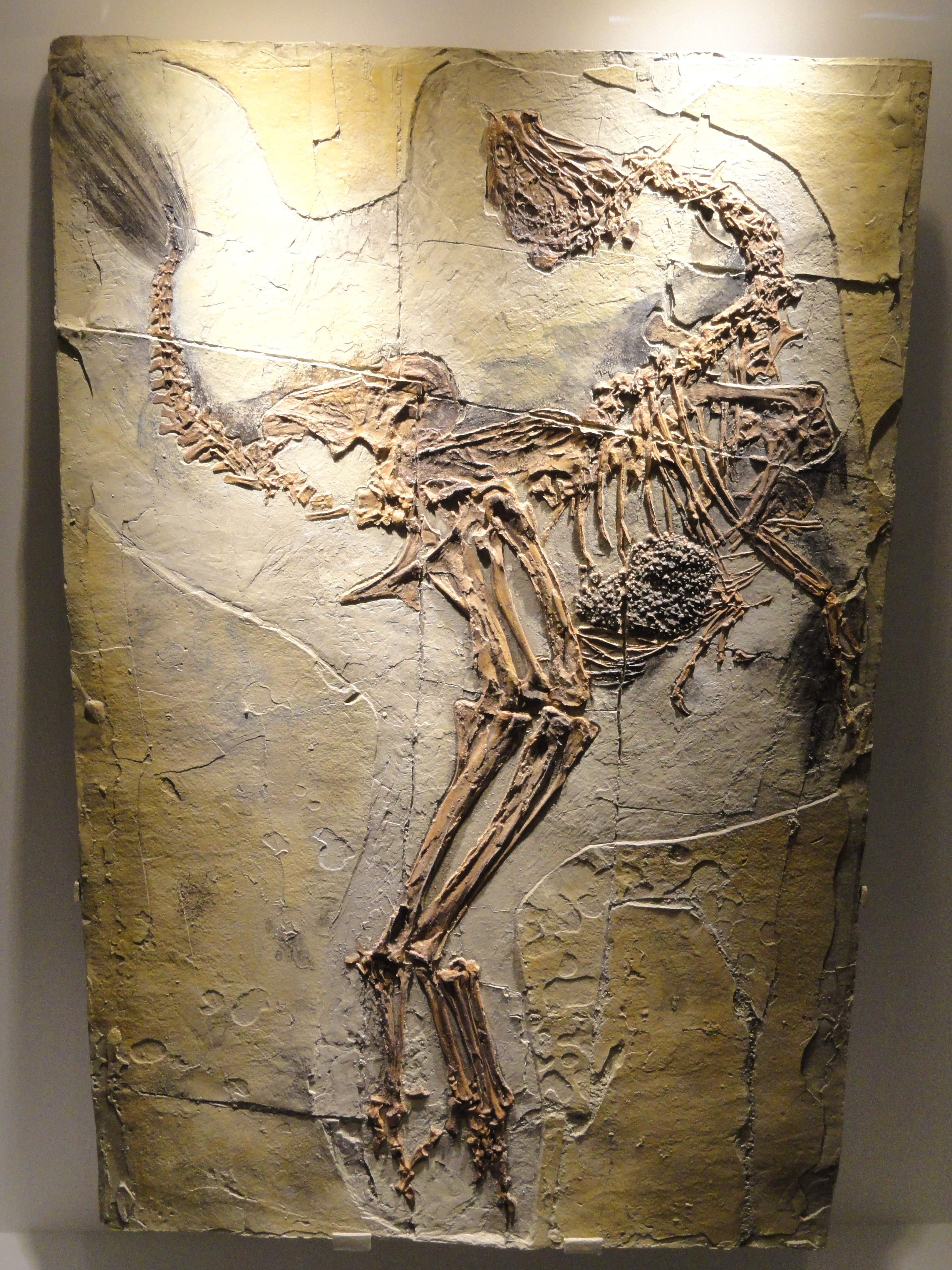 caudipteryx_zoui_feathered_dinosaur_plate_early_cretaceous_yixian_formation_liaoning_china_houston_museum_of_natural_science_dsc01866.JPG