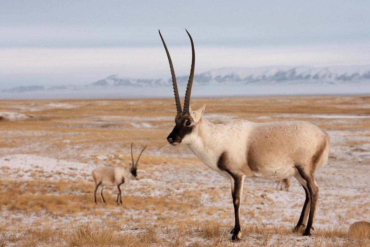 tibetanantelope.jpg