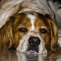 Vigyázat, karácsonykor sokkal nagyobb az esélye annak, hogy megmérgezzük a saját kutyánkat!