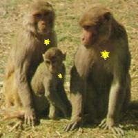 Koncentrációs táborba zárnák a majmokat Indiában