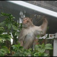 Halálosan megfenyegették, pedig csak a majom javát akarta