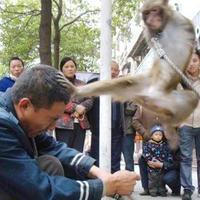Fejbe rúgta gazdáját a tékvandózó majom