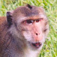 Malajzia engedélyezni a majomexportot