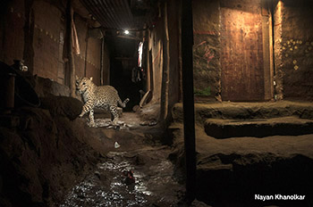 leopard_072_nayan_khanolkar.jpg