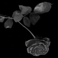 Csoóri Sándor: Anyám fekete rózsa