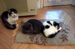 Új cica összeszoktatása másik macskával