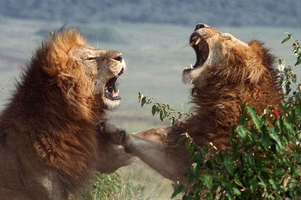 roar-aggression-of-two-lions.jpg