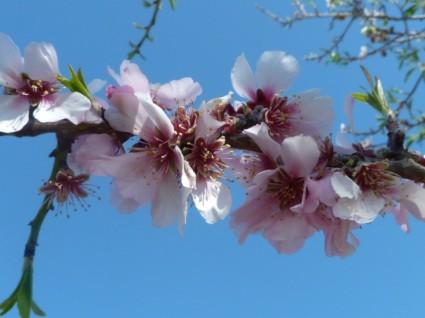 almond_blossom_spring_flowers_238358.jpg