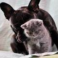 Cica francia bulldog testőrrel