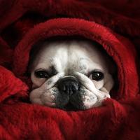 A francia bulldog befészkelte magát