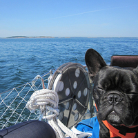 A tengerész francia bulldog