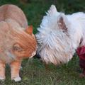 Westie-cica barátság