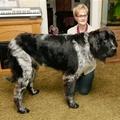 A világ legnagyobb kutyája - az új jelölt