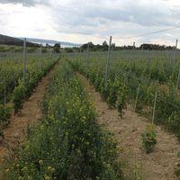 A szőlőnevelés körüli kérdések