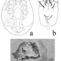 Egy erdélyi érdekesség: a Protodinychus evansi Huţu & Calugar, 2002