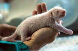 Thai masszázs a pandának