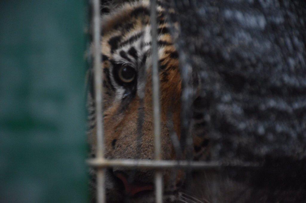 tiger_temple6.jpg