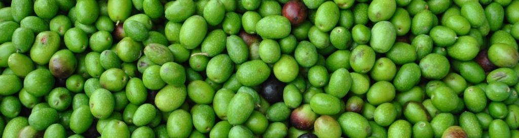 olive_toscane_1.JPG