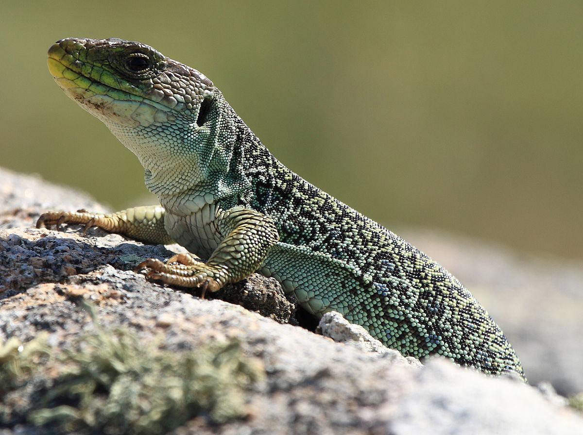 1200px-lagartoocelado_lizard.jpg