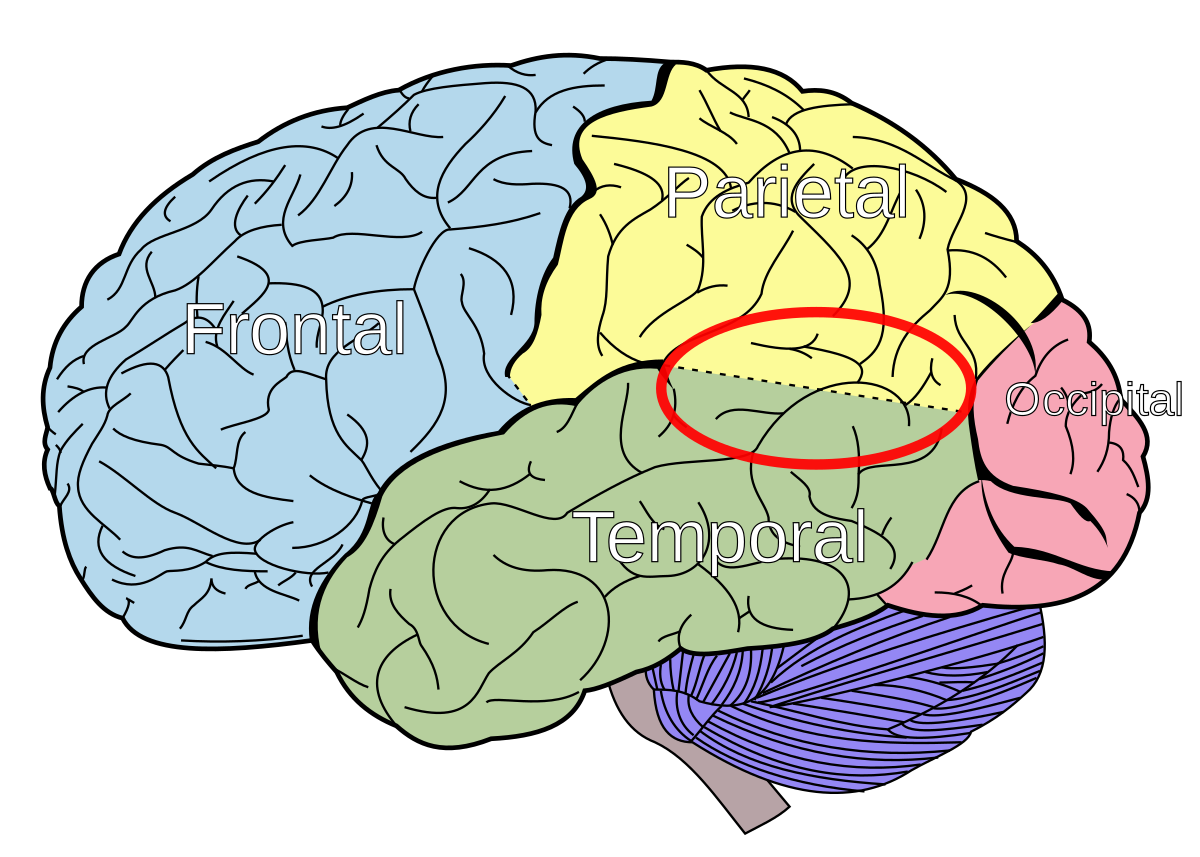 temporo-parietal_junction_svg.png