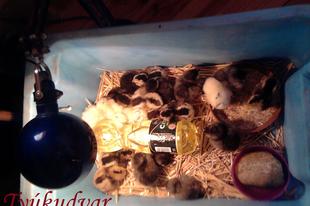 Araucana kiscsibéim - nevelés kotlós nélkül