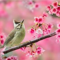 Sakura ünnep már Budapesten is! - Cseresznyefa piknik a Füvészkertben
