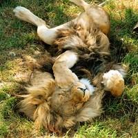 Így altass oroszlánt!