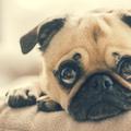 Jól gondold át, vásárolsz-e nyomott orrú kutyafajtát