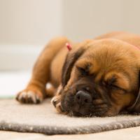 A kutyák is rosszul alszanak ha rossz napjuk volt?