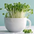 Kertészkedj a lakásban 1. Egyszerű és egészséges: termessz csírát!
